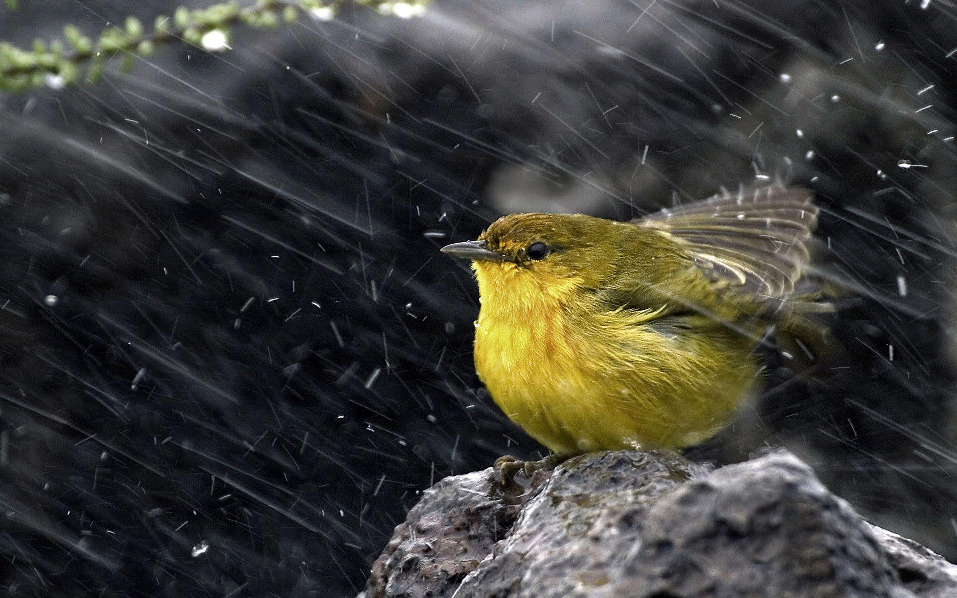 Birds In France Wallpapers Photos Animals Lime Bird Under The Rain 1920 X 1200 Birds Rain Bird Bird Wallpaper