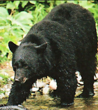 """Tarik (1977–1994) was a baby black bear whose voice was one of the major components of Chewbacca's vocals,[1] along with that of a cinnamon bear named Pooh[2] and a walrus named Petulia.[3] Tarik's growls also provided the primary voice of Lumpawarrump in the 1978 TV movie The Star Wars Holiday Special.[4] He lived in San Jose's Happy Hollow Zoo, where he was a popular attraction. According to the Associated Press, Tarik enjoyed """"sleeping, eating, catching bear biscuits, and spending hot…"""