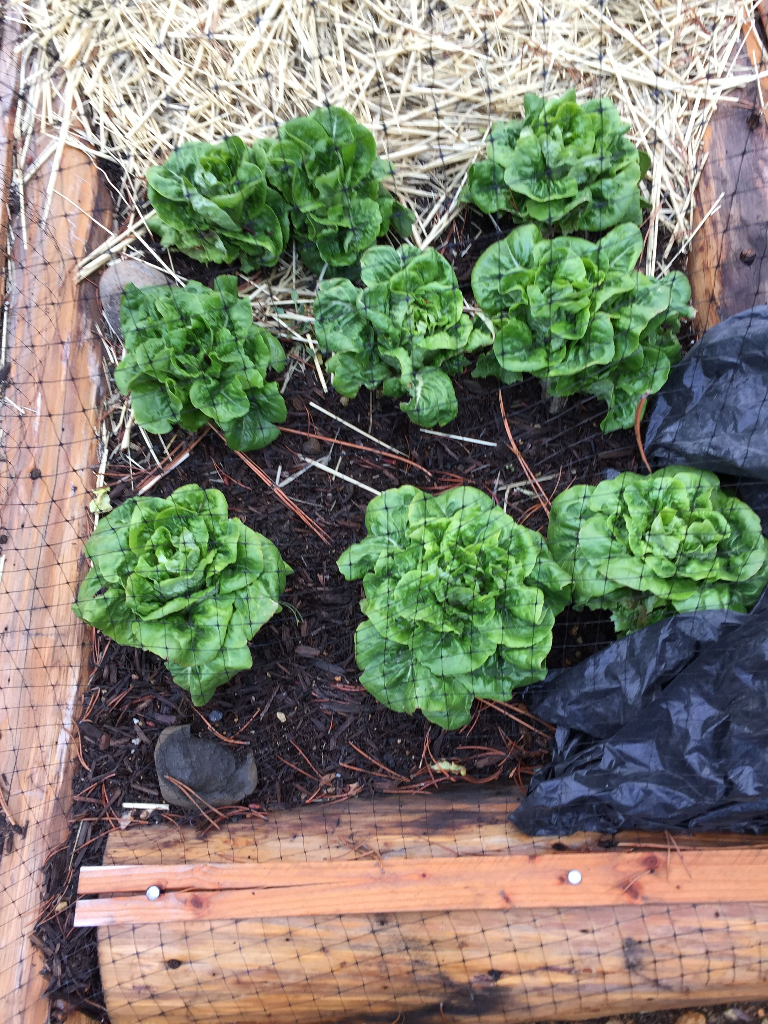 This Bib butter head lettuce. This stuff is amazing. Withstands freezing temps down to 23 degrees outside uncovered. Today November 27 we picked a head with snow on it.