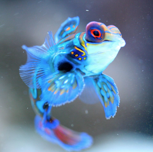 Mandarinfish: bright blue, light sky blue, accents of pink and yellow