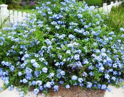 Purple Flowering Bush Florida Google Search