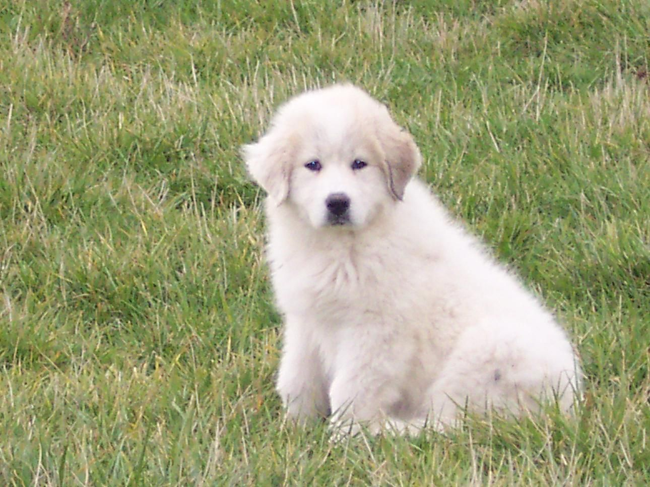 Great Pyrenees Puppy Pictures Great Pyrenees Puppy Great