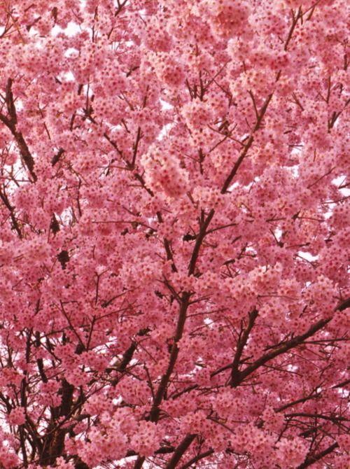 Sakura Beautiful Flowers Blossom Trees Flowering Trees