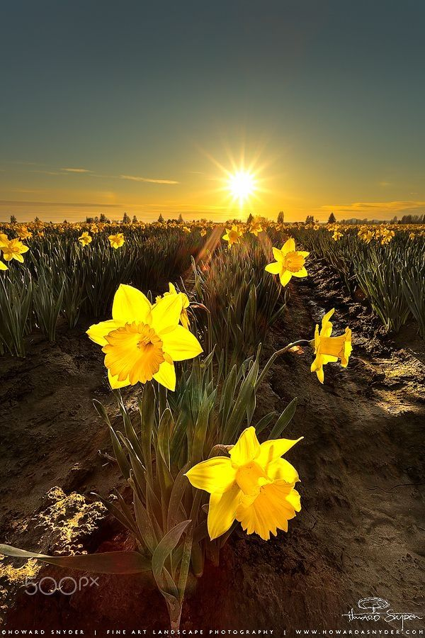 Yellow Flowers At Sun Sunset Sunrise Beautiful Landscape Beautiful Nature Daffodils Beautiful Landscapes