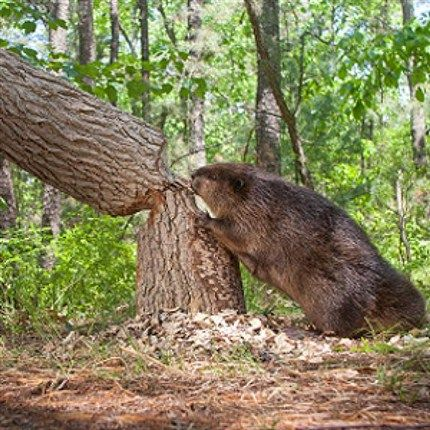 how to attract beavers to build a dam