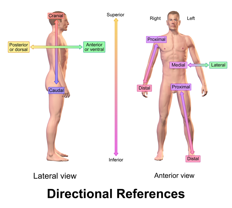Blausen 0019 Anatomicaldirectionalreferences Anatomical Terms Of