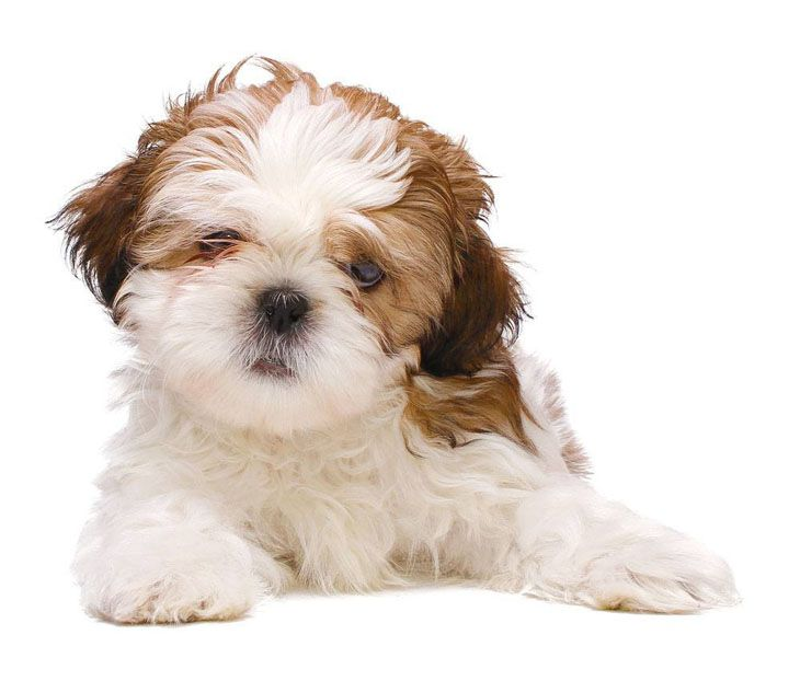 Shih Tzu Names Cute Male Female Ideas For This Dog Cute Puppy