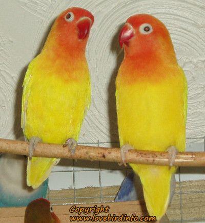 yellow lutino fischer lovebirds