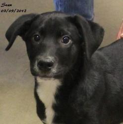 Sean Is An Adoptable Black Labrador Retriever Dog In New Fairfield Ct Sean Is A Precious L With Images Labrador Retriever Labrador Retriever Dog Black Labrador Retriever
