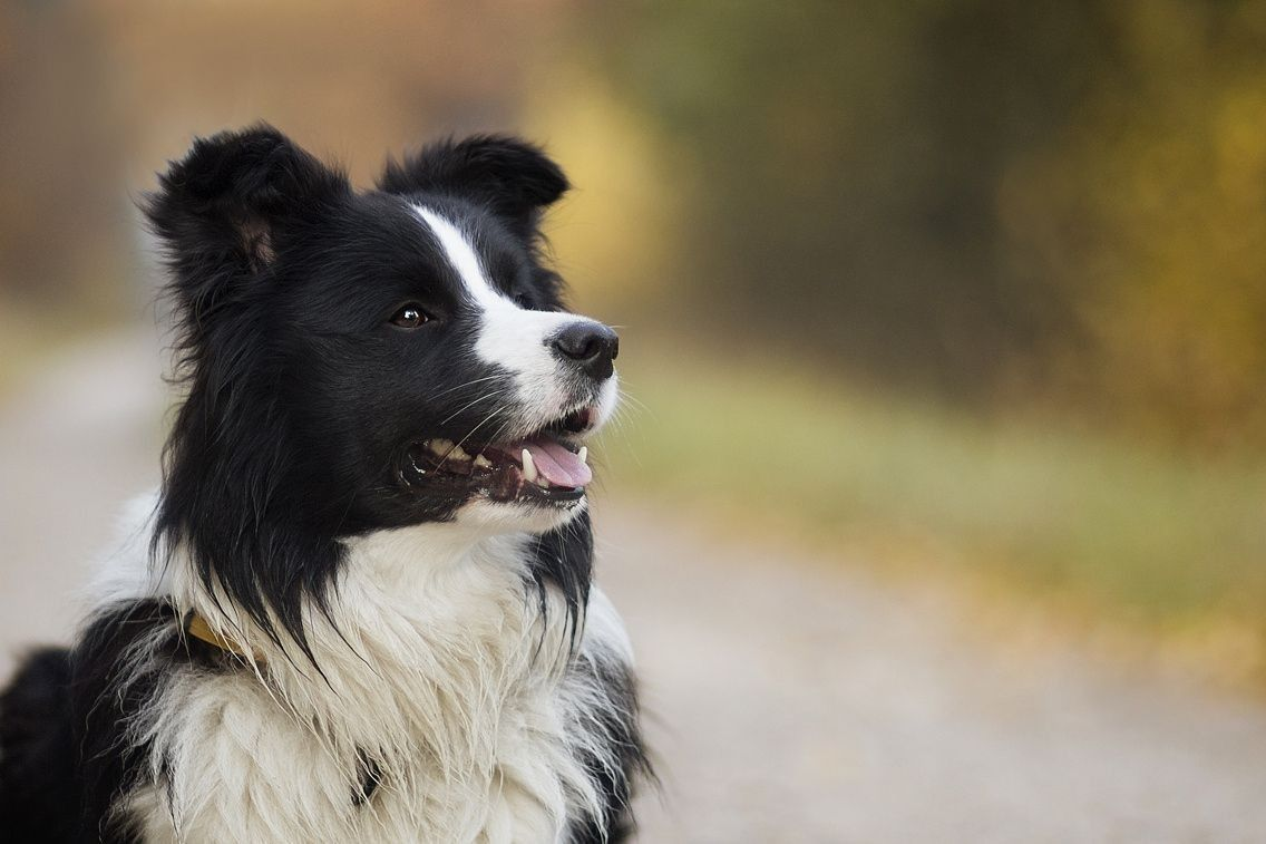 Pin By Vandhana Prakash On Pets With Images Border Collie Dog Border Collie Puppies Collie