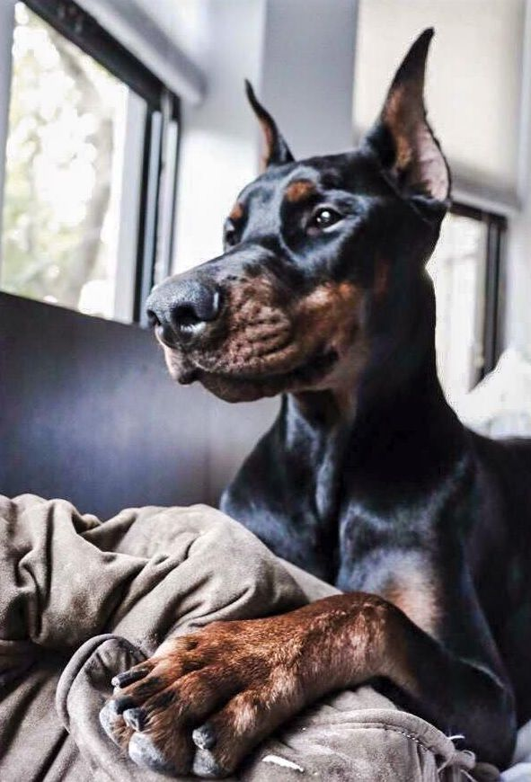 10 Things Only A Doberman Pinscher Owner Would Understand