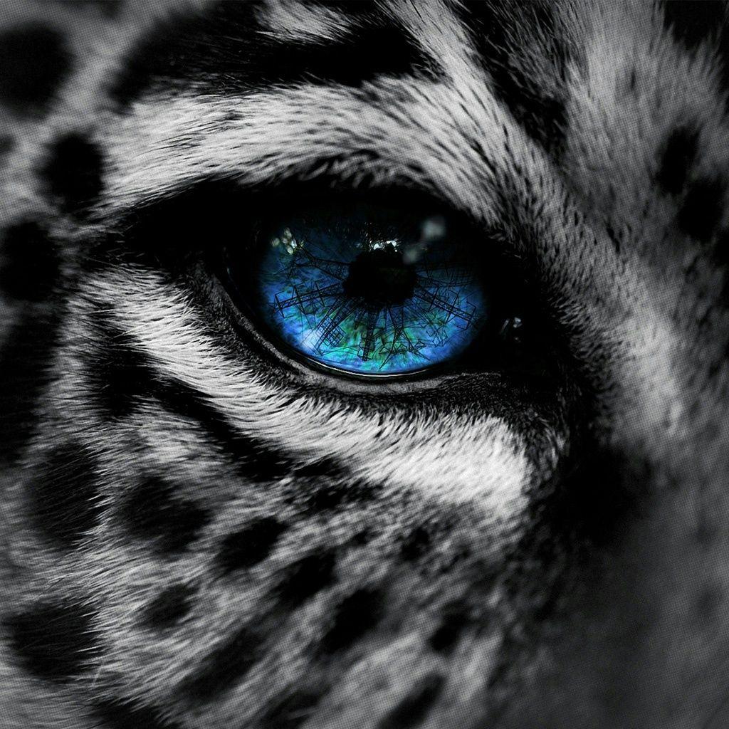 leopard with blue eyes snow leopard blue eye ipad wallpaper
