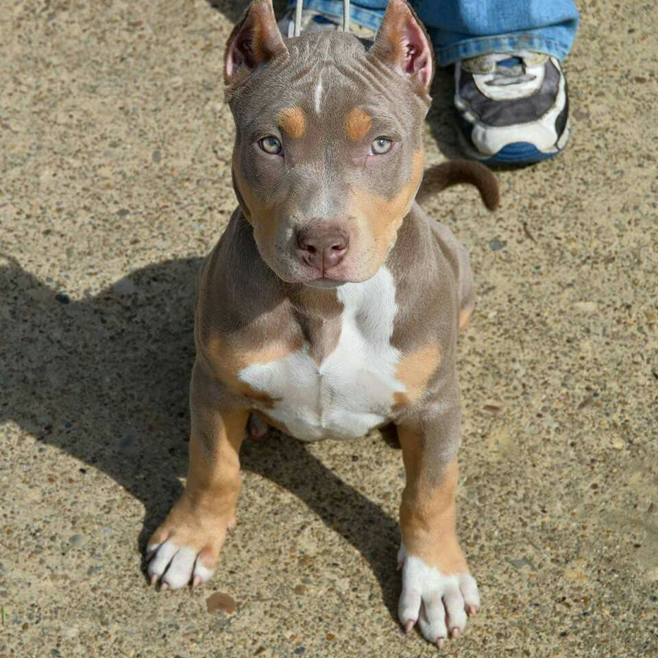 Purple Line Tri Color Pitbull Pitbull Terrier Beautiful Dogs