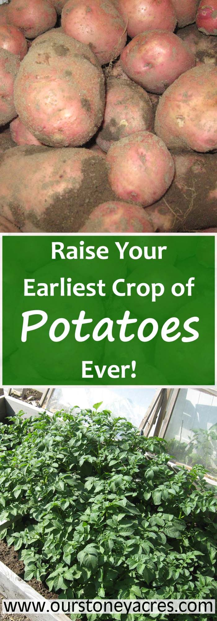 A simple cold frame is all you need to to have early potatoes in the spring. You can plant early potatoes in mid March and they will be ready in June. Potatoes are one of the best crops to grow in your vegetable garden if you want to be self sufficient!