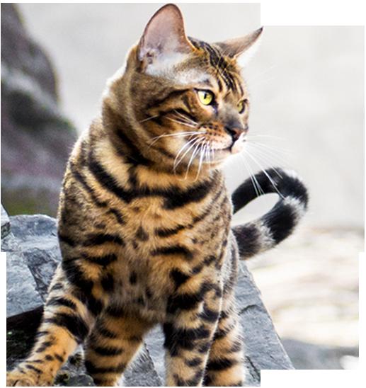 Bengal Cat Pattern & Colors Bengal cat, Bengal cat