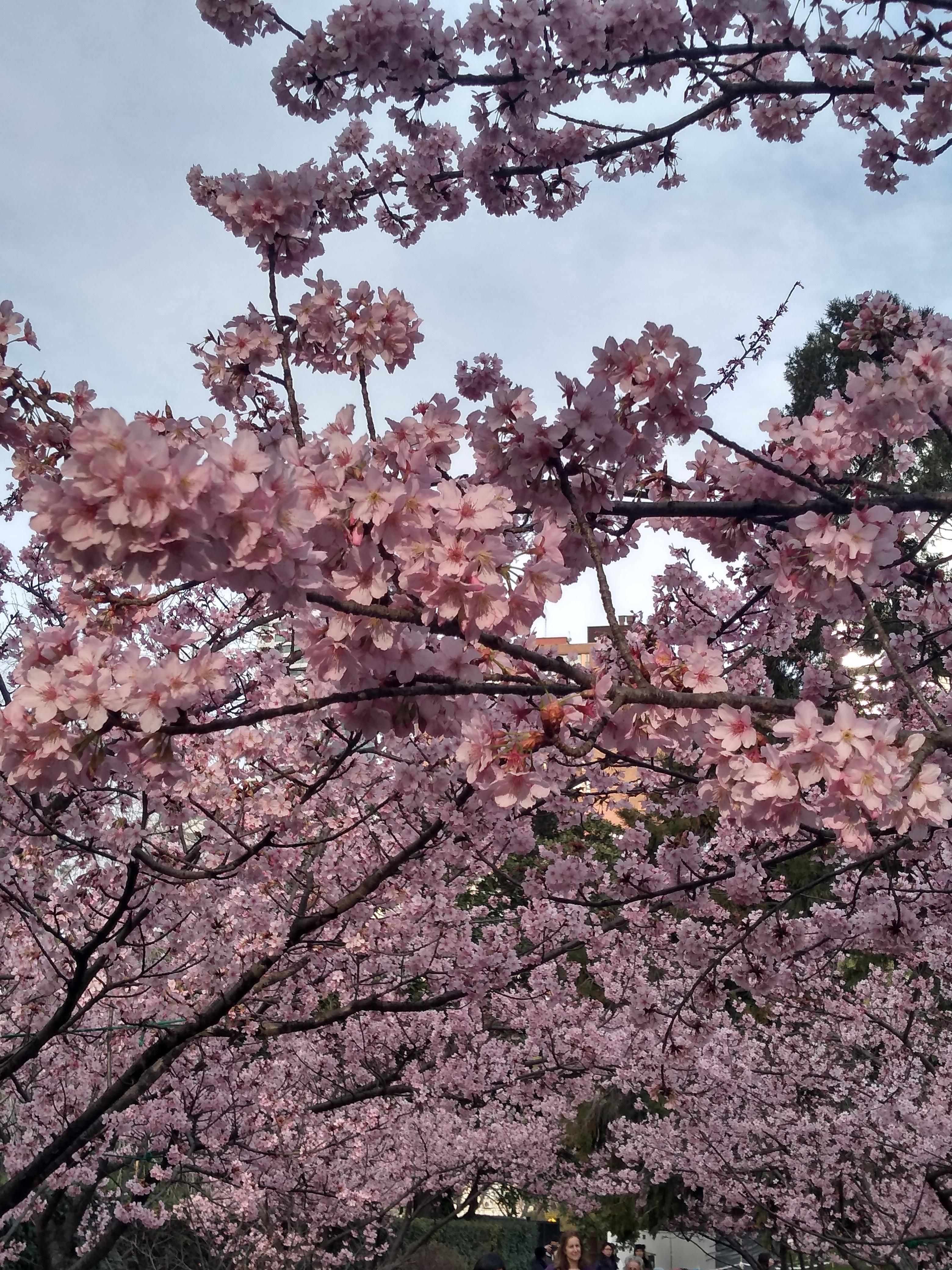 Sakura Cherry Trees Blooming In The Japanese Garden Argentina Gardening Garden Diy Home Flowers Roses Nature L Japanese Garden Sakura Tree Cherry Tree