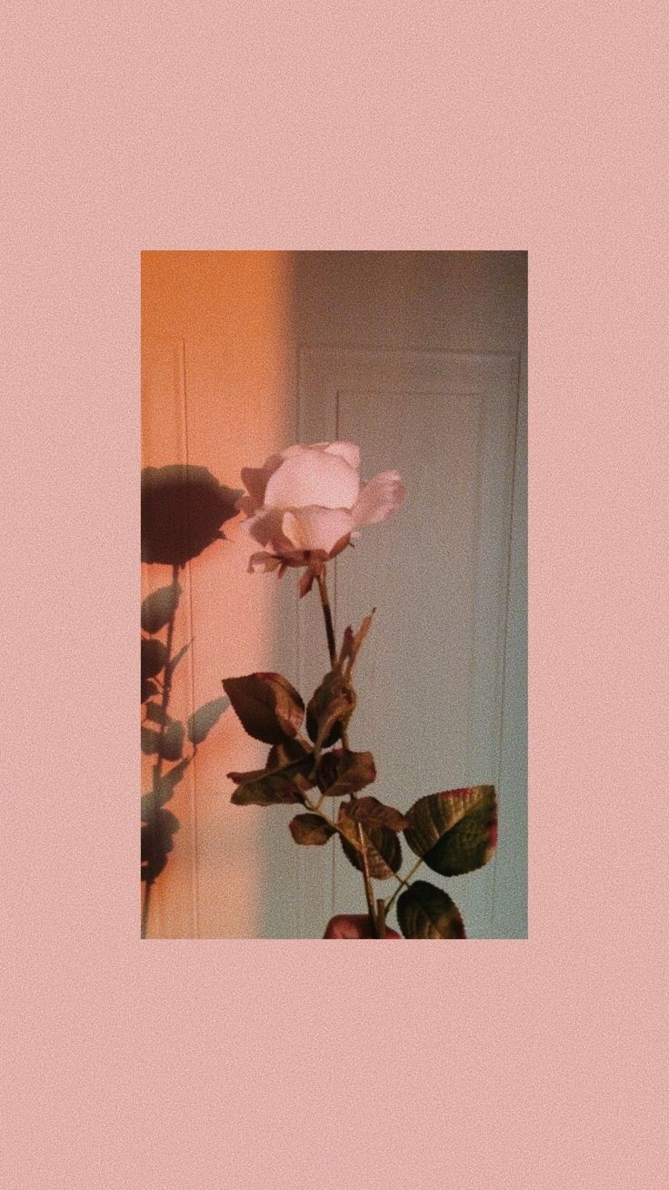 pink long stem rose love Hintergrund iphone, Pastell