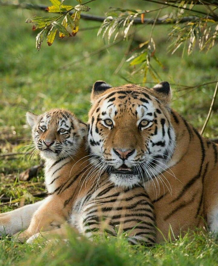 d02f3f74a53a Tigre - Baby is suspicious...