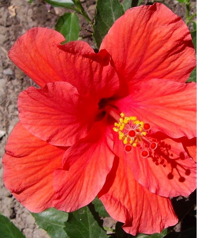 Hibiscus Flower Pic I Took In Hawaii Hibiscus Flower Quotes Beautiful Flowers