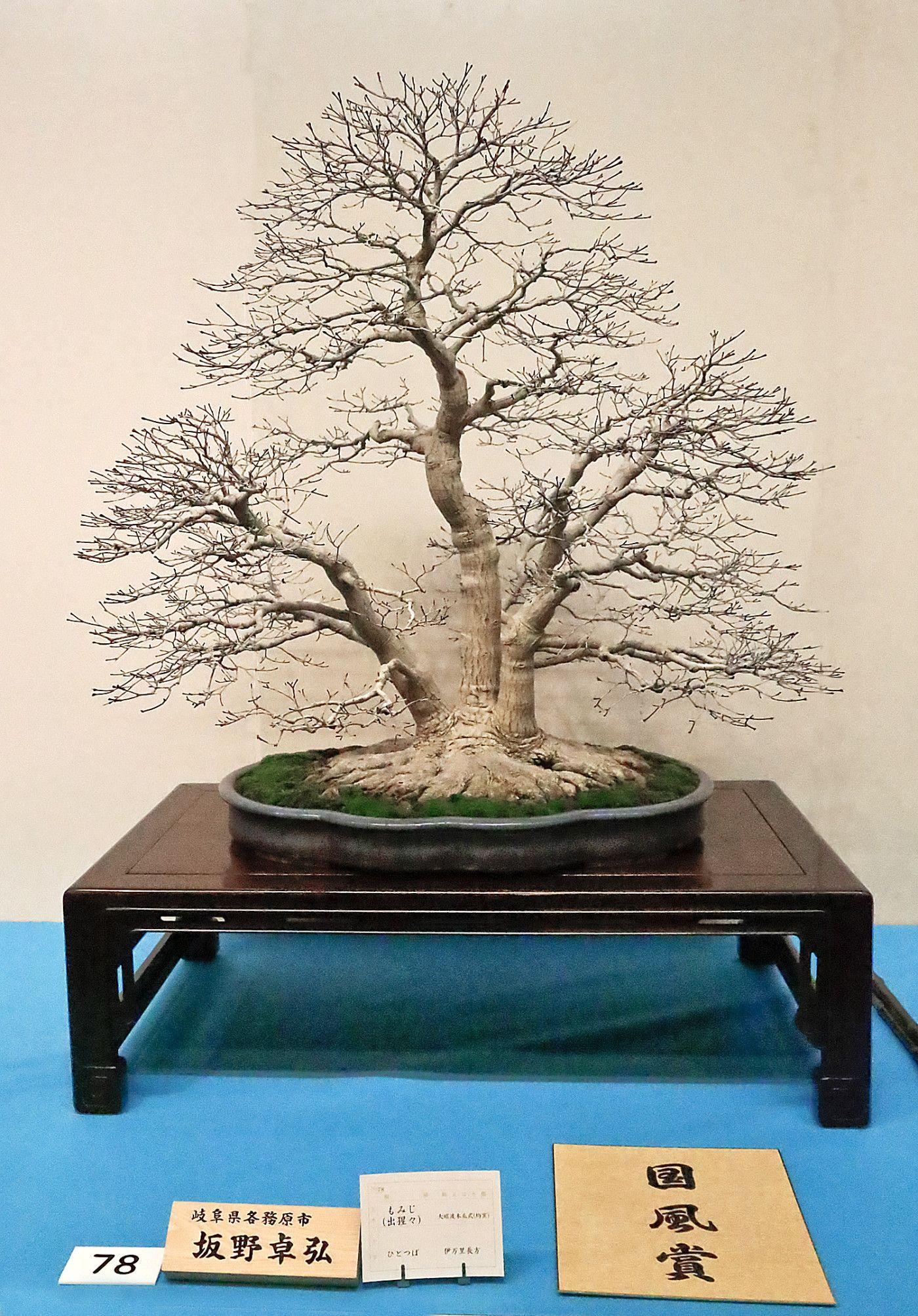 Bonsai. cleary an award-winner. Triple-trunk.