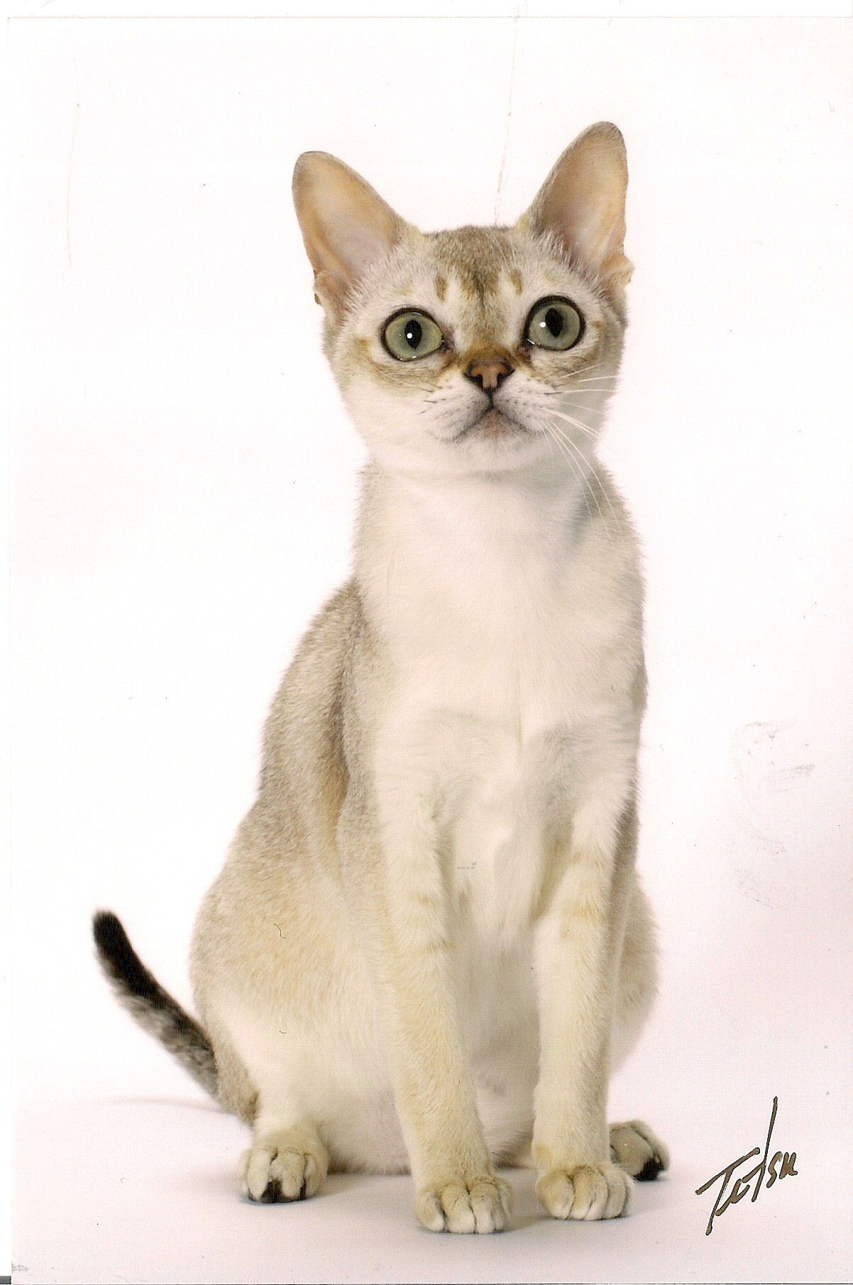 Singapuras Are Gorgeous Like The Burmese And Abyssinian I Like The Coat And This Beautiful Breed Has Captivating Eye Best Cat Breeds Singapura Cat Cat Breeds