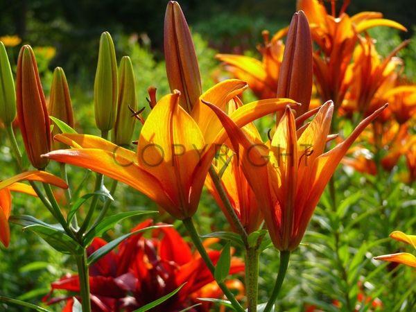 Gerade gefunden auf http://www.fineartprint.de Rot orange Lilien im Garten
