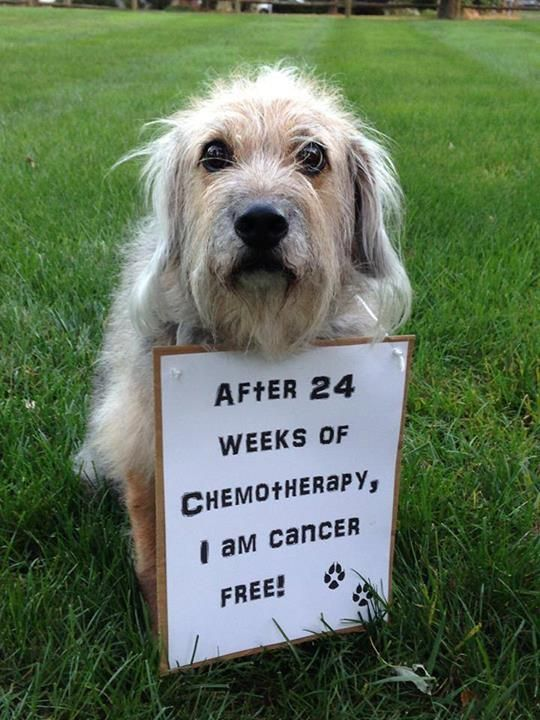 """""""Our 10 year old furry family member, Scruffy, is in remission from Lymphoma and is Cancer Free! Nine years ago she rescued us; and 6 months ago we rescued her right back!"""" See more heartwarming photos here: http://www.dogheirs.com/dogsarefamily/posts/3100-what-would-your-dog-say-photos"""
