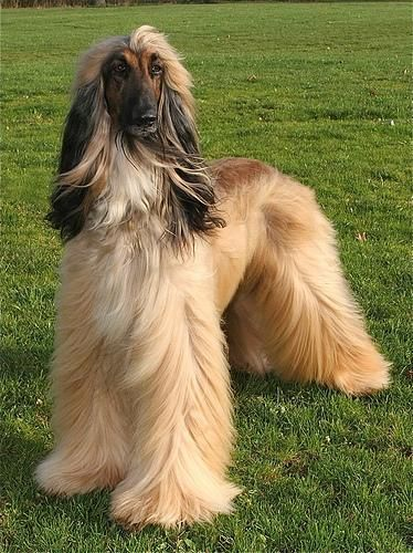 Afghan Hound Afghan Hound Colors Pictures Page 1 4 Afghan