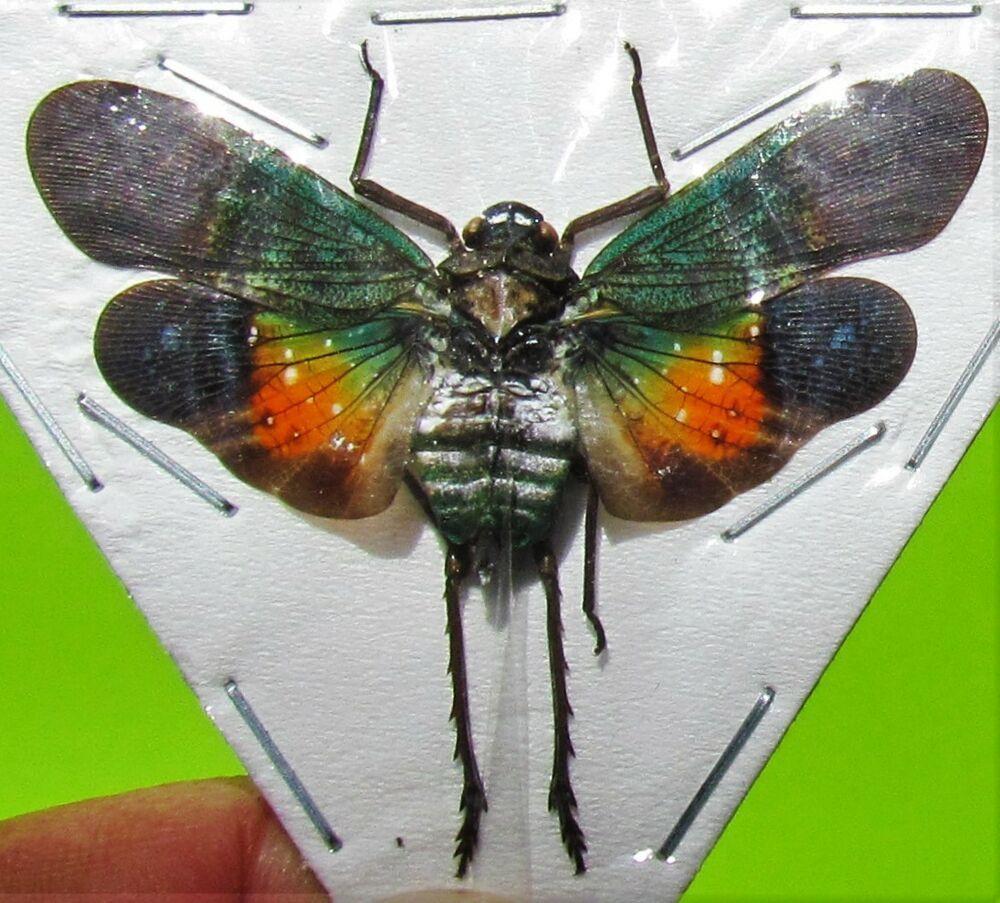 Lot of 10 Peleng Island Lanternfly Cicada Penthicodes