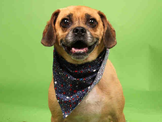 Adopt Puggle Dog Moe Tuesday Tails Available From The Humane
