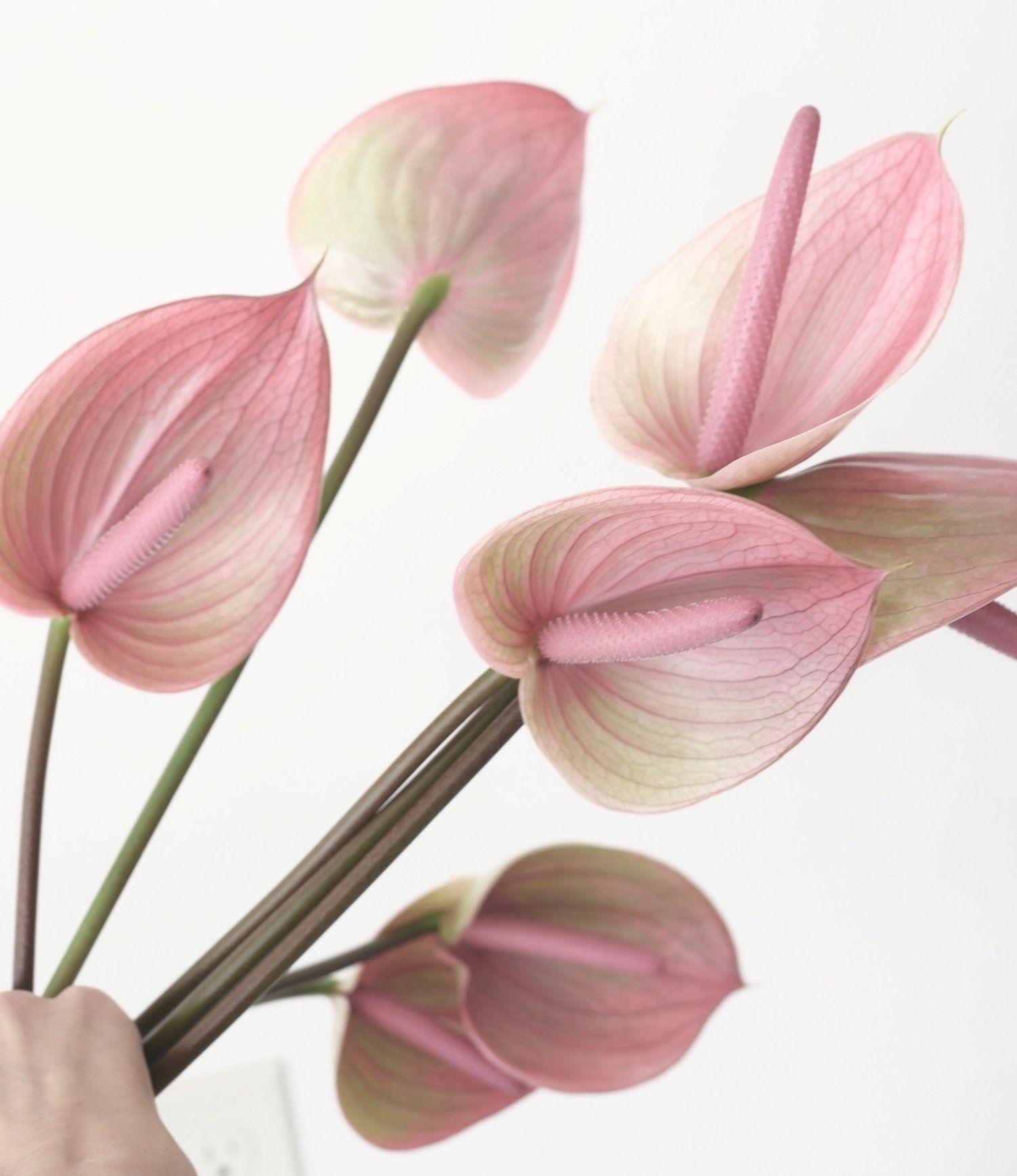 Mauve Anthurium For Contemporary Portland Wedding Color Theory Collective Anthurium Peruzzi Variety Modern Mauve Anthurium Flower Anthurium Flower Guide