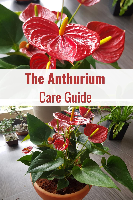 The Anthurium Plant Care Guide In 2020 Anthurium Plant Flamingo Plant Anthurium Care