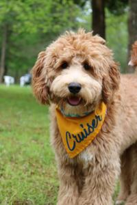 Home Labradoodle Puppy Goldendoodle Doodles