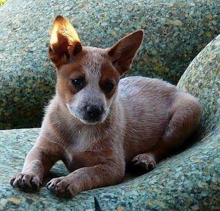 Clare S Craftroom Austrailian Cattle Dog Aussie Cattle Dog