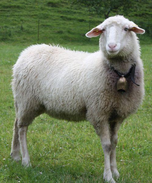 Waldschaf Schaferei In Osterreich Animals Sheep Lamb