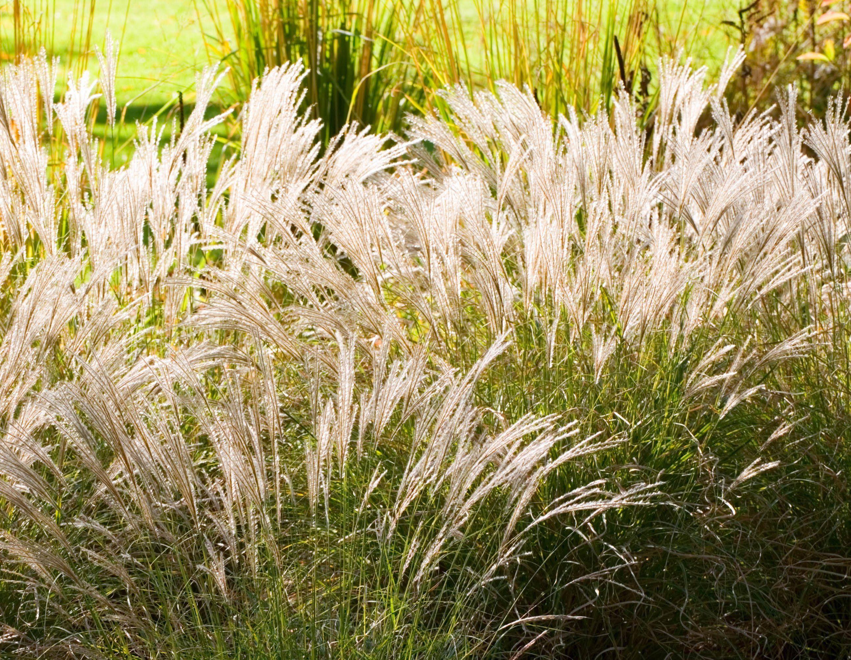 Little Kitten Maiden Grass Monrovia Little Kitten Maiden Grass Monrovia Plants Plants Grass