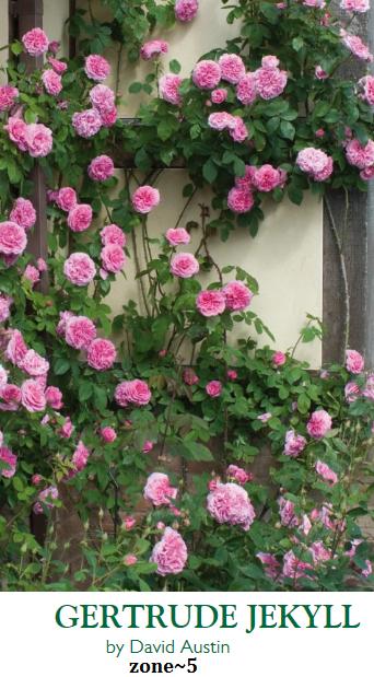 Climbing Rose Zone 5 Roses Garden Bush
