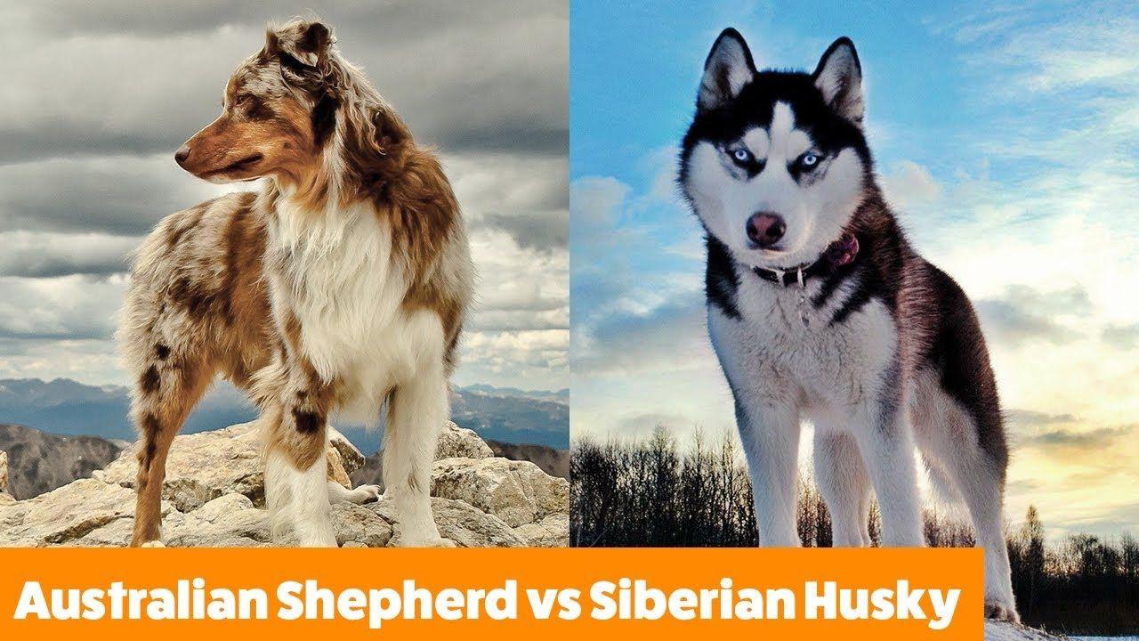 Australian Shepherd Vs Siberian Husky Dogs 101 Funny Pet