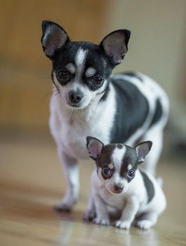 Mommy And Me Chihuahua Puppies Puppies Cute Dogs