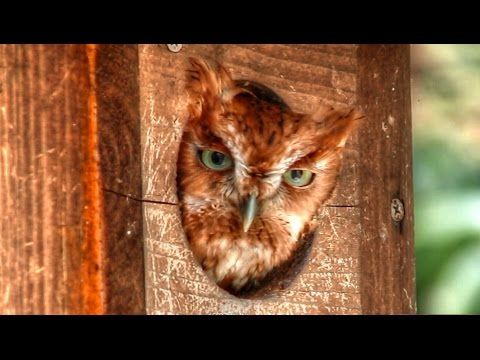 screech owl horse whinny call - youtube | cats and owls. | pinterest