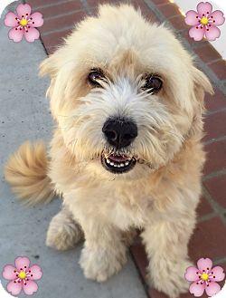Corgi Poodle Miniature Mix Dog For Adoption In Los Angeles California Frankie Poodle Corgi Poodle Dog Benefits