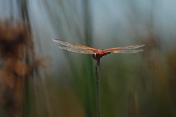 Orange dragonfly with glistening wings...