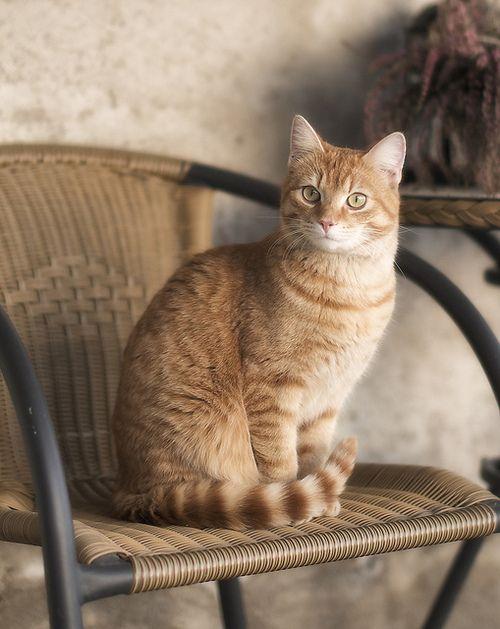 Orange Tabby Cat With Images Orange Tabby Cats Tabby Cat Tabby