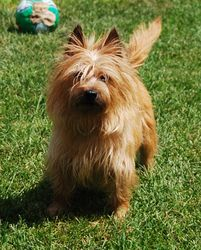Adopt Princess Plus On Cairn Terrier Terrier Dogs Terrier