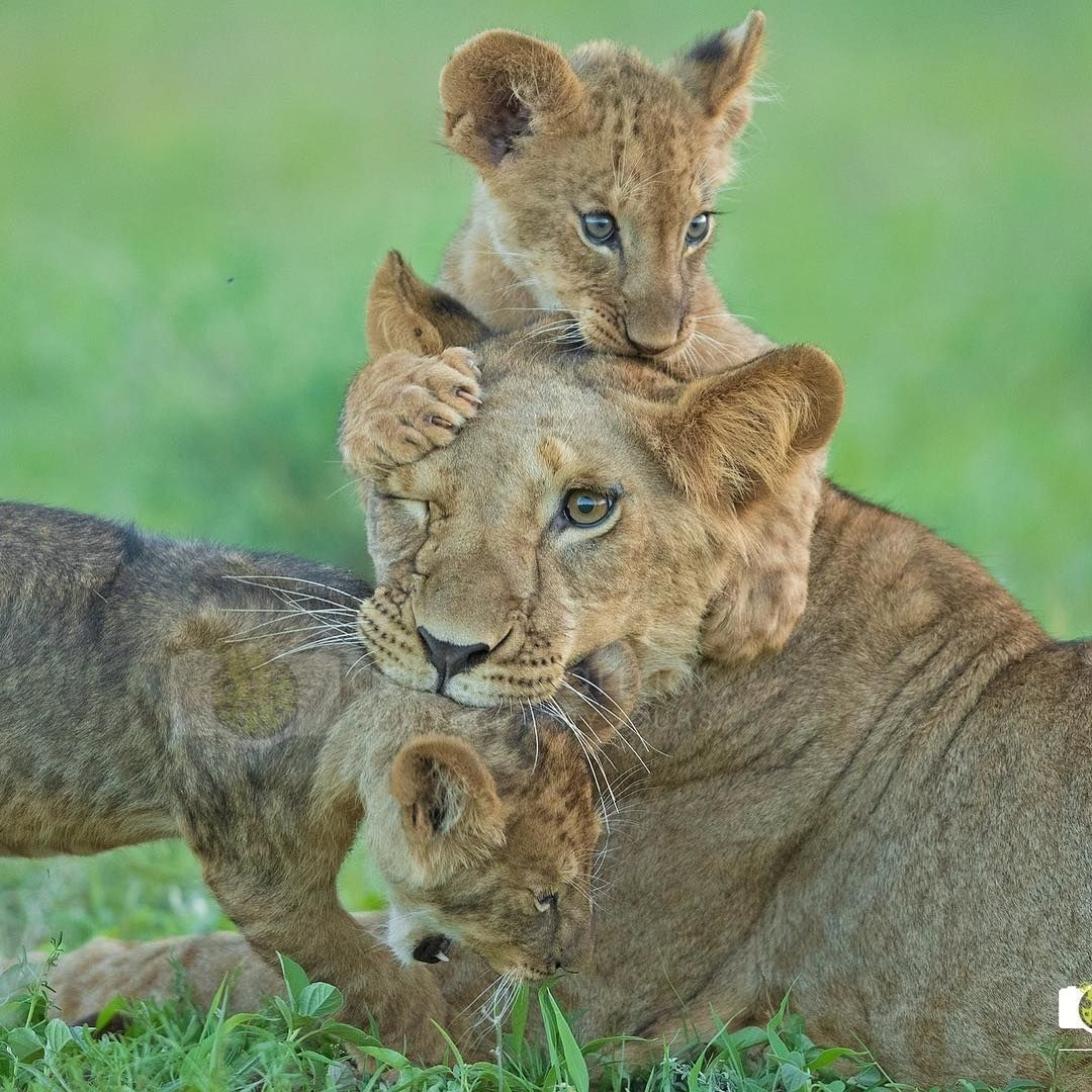 Pin by sheila coultas on aww pinterest lions animal and cat