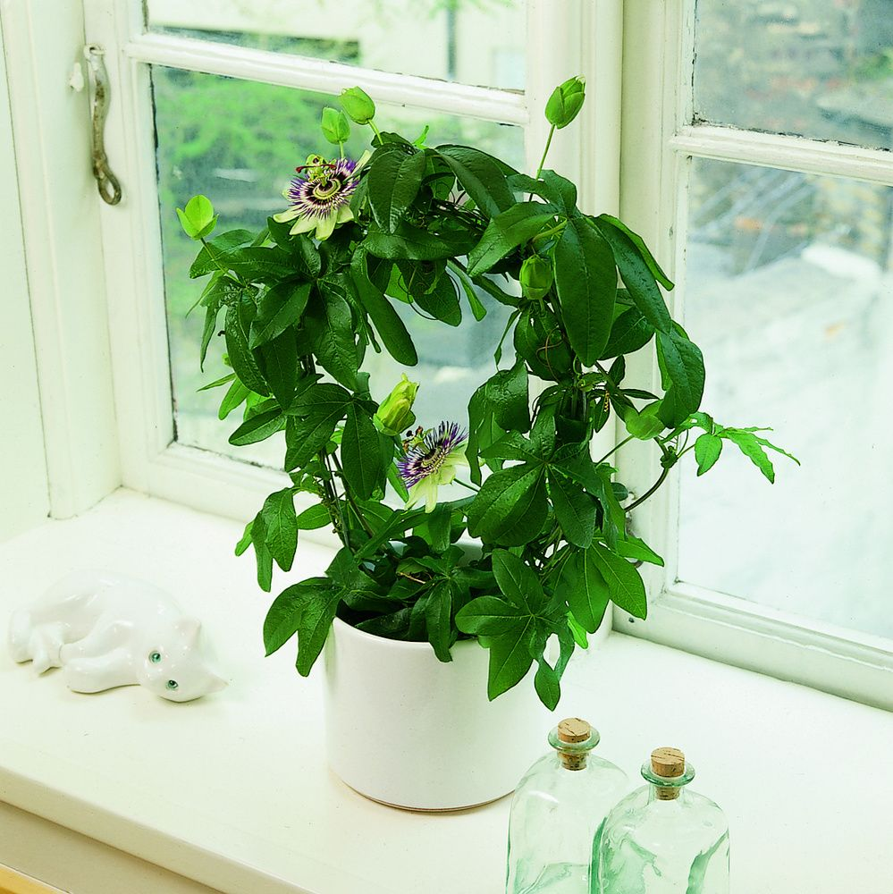 Passiflora Passion Flower On Windowsill Indoor Flowers Indoor Plants Passion Flower