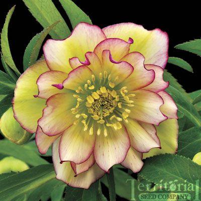 Flower Plants - Plant-Hellebore, Amber Gem