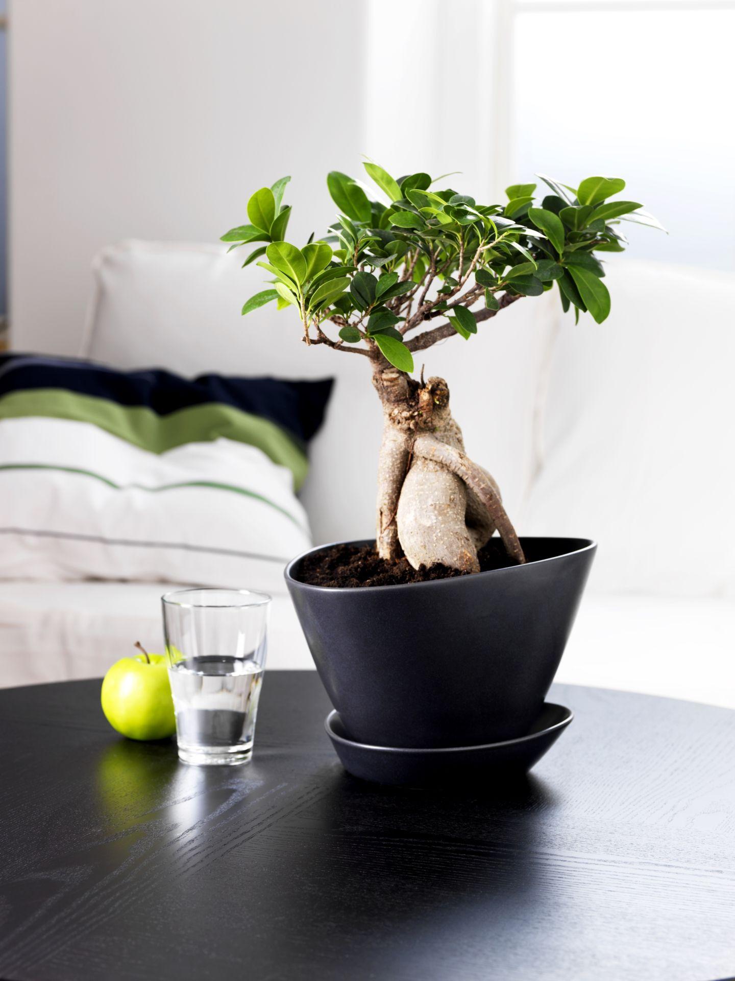 ficus microcarpa ginseng plant met sierpot bonsai diverse kleuren ginseng plant ficus. Black Bedroom Furniture Sets. Home Design Ideas