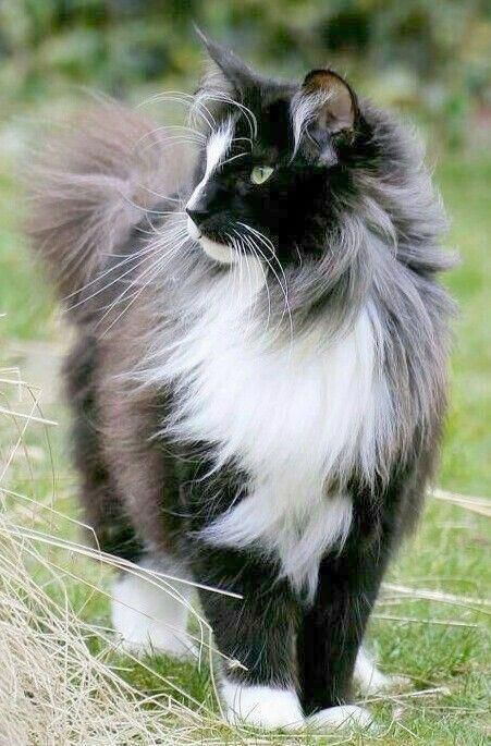 Beautiful Grey Cats Most Beautiful Cats Mainecooncats Beautiful