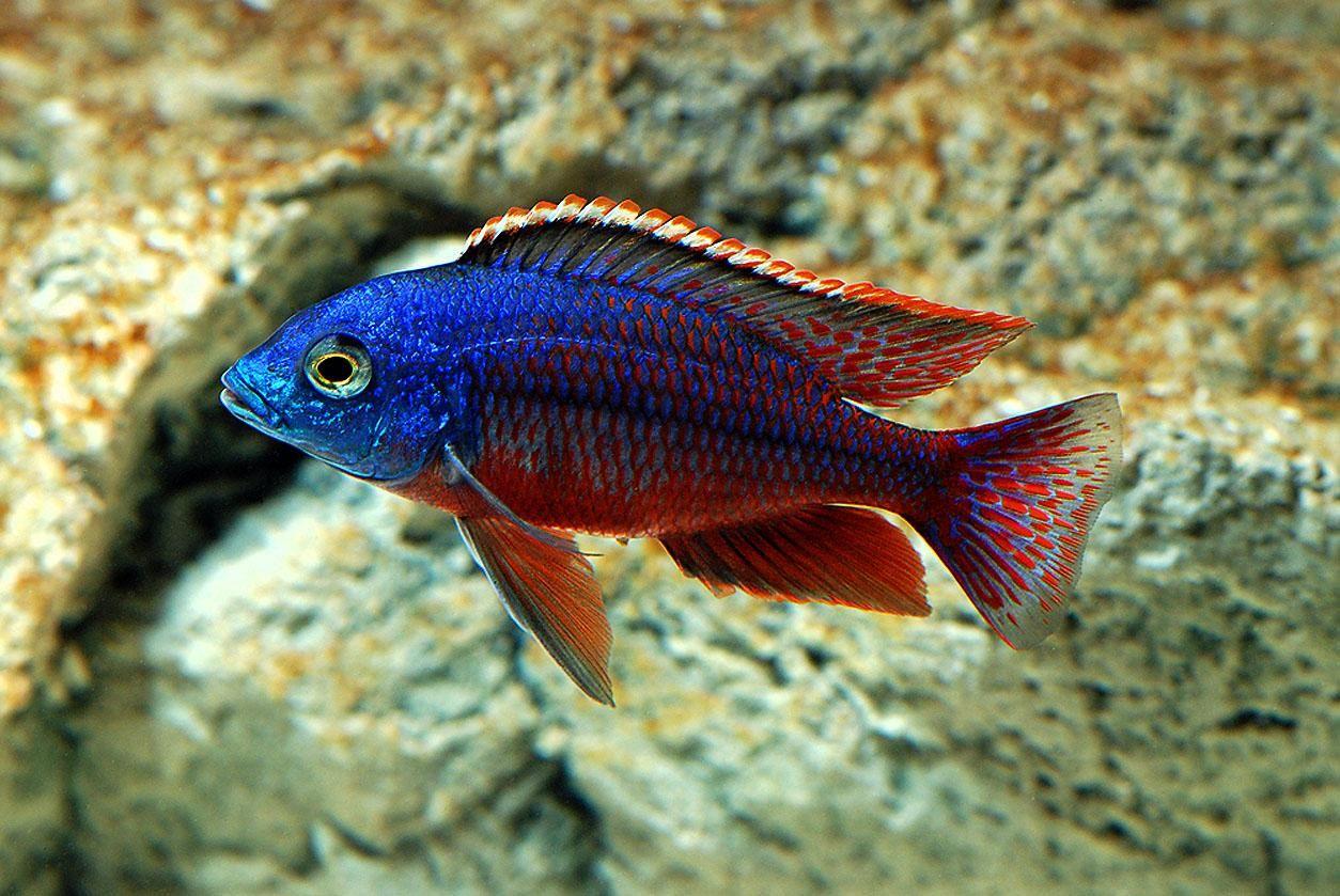 Freshwater Fish For Aquarium